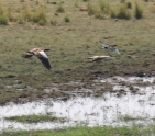 Egyptian Geese and Sacred Ibis