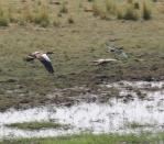 Egyptian Geese and Sacred Ibis