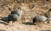 Guinea Fowl Trio