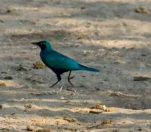 Greater Blur-eared Starling