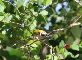 Grey-capped Warbler