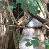 Spotted Morning Thrush