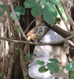 Spotted Morning Thrush