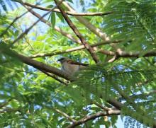 Northern Grey Headed Sparrow