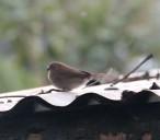 Female Red-billed Firefinch