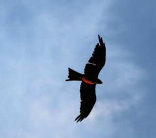 Yellow-billed Black Kite in the sun