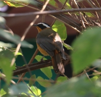 Wite-browed Robin Chat