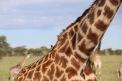 18-20 serengeti (401)-1