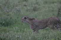 18-20 serengeti (43)-2