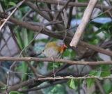 Green-winged Pytila