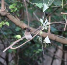 Common Bulbul