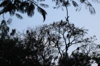 Yellow-billed Black Kites