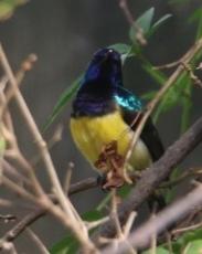 Variable Sunbird