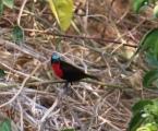 Scarlet-chested Sunbird