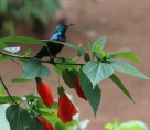 Red-chested Sunbird