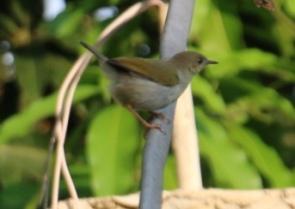 Grey-backed Camaroptera