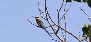 White Throated Bee-eater