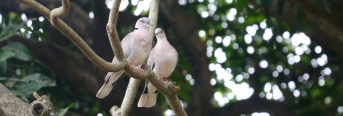 Mourning Doves