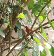 Redbilled Firefinch