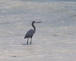 Dimorphic Egret