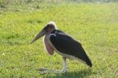 Marabou Stork